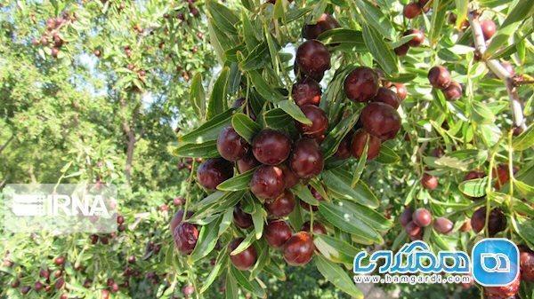 میوه ای که هم زمان کبد، گوارش، فشار، قند خون و افسردگی را درمان میکند