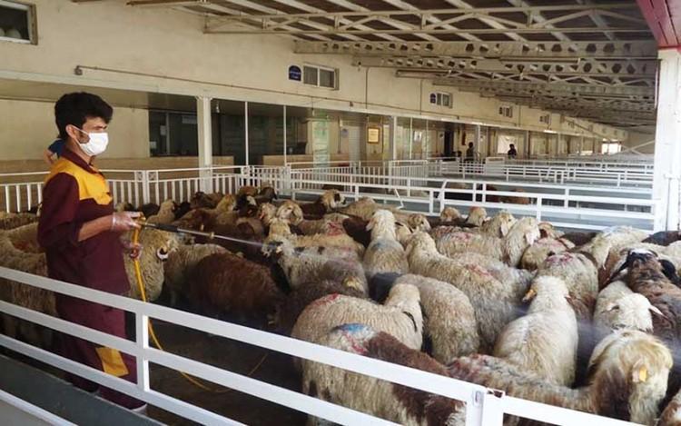 فروش گوسفند در مراکز عرضه دام البرز ممنوع شد